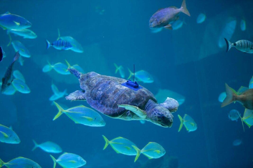 Foto de Poema del Mar devuelve al océano a una tortuga encontrada en